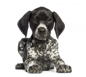 Hundetrainer Pointer
