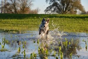 Hund stürmt durchs Wasser
