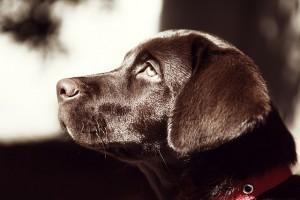 ein Hundepsychologe macht traurigen Labrador froh