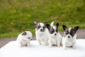 Gruppe Chihuahua-Welpen