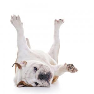 Hundetrainer Englische Bulldogge