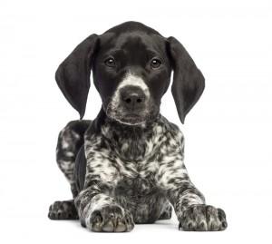 Hundetrainer Pointer